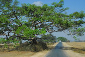 Big tree on the route at countryside in Myanmar. — Stock Photo