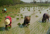 Myanmar farmer working in rice field. — Stock Photo