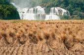 Straw in rice field front of Datian waterfall in China. — Stock Photo