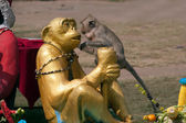 Thailand Monkey Party ( Thailand Monkey Buffet ). — Stok fotoğraf