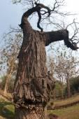 Old tree . — Fotografia Stock