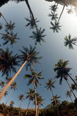 Coconut palm trees perspective view. — Stock Photo