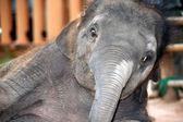 Asian elephant baby dance is joyfully. — Stock Photo