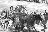 Ox cart racing in Thailand. — Stock Photo
