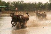 Water buffalo racing in Thailand. — Stock Photo