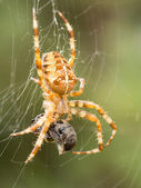 Spider with wasp as prey — ストック写真