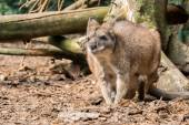 Small red necked wallaby — Stock Photo