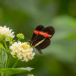 Red and black butterfly on flower — Stock Photo #52384285
