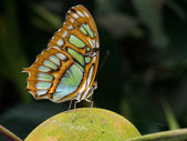 Green and brown butterfly — Stock Photo