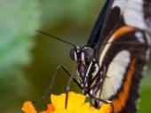 Closeup estrema della farfalla sul fiore — Foto Stock
