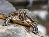 Small turtle staring at camera — Stock Photo
