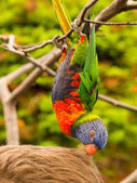 Colorful parrot eating hair — Stock Photo