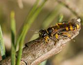 Black and yellow striped insect — Stock Photo