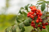 Wild sorbus shrub  — Stock Photo