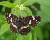 Black butterfly on leaf — Stock Photo