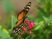 Spotted butterfly on pink flower — 图库照片