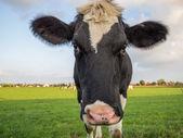 Cow close to camera — Stockfoto