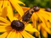 Wild butterfly on yellow cone flower — Stock Photo