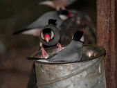 Java sparrows in metal bucket — Foto Stock