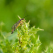 Small insect on thorn — Stock Photo #59358297