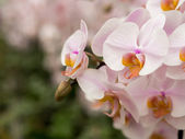 White pink orchids in bloom — Stock Photo