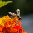 Hoverfly on small orange flower — Stock Photo #81661294