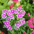 Flowerbed Of Dianthus Barbatus — Stock Photo #61123541
