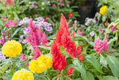 Plumped Celosia Flower In The Garden — Stock Photo