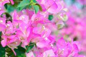 Kwiaty papieru lub bugenwilli vintage — Zdjęcie stockowe