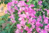 Paper flowers or Bougainvillea — Stock Photo