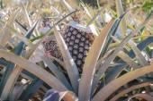 Тропические фрукты ананас — Стоковое фото
