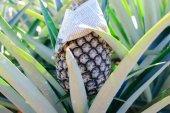 Pineapple Tropical Fruit — Stock Photo