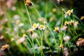 White narrowleaf zinnia or classic zinnia flower — Stock Photo