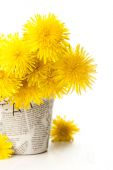 Dandelions in a pot on a white blue wooden background  — Stock Photo