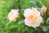 Fragrant oleander — Stock Photo