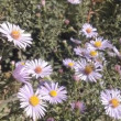 Aster Flower And Bees — Stock Video #64569755