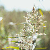 Spikelets of oats, oats field and blue sky — Stock Photo