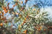 Branch with berries of sea buck-thorn and green leaves on a back — Stock Photo
