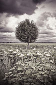 Isolated plane tree in a sunflowers field before a rainstorm — Stock Photo