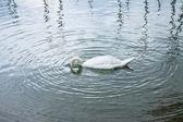 Swan with head underwater — Stock Photo