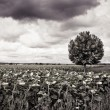 Isolated plane tree in a sunflowers field — Stock Photo #74895749