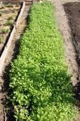 A garden-bed with mustard in a dacha garden — Stock Photo