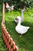 White and brown geese in green — Stock Photo