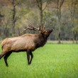 Trophy class Bull Elk — Stock Photo #60287435