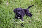 Black Lab pupies — Foto Stock