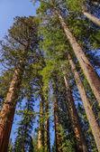 Yosemite National Park - Giants Sequoia — Stock Photo