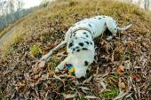 Chien dalmatien — Photo