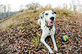 Dalmatiner hund — Stockfoto