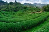 Teeplantage, Thailand — Stockfoto