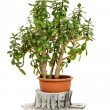 Crassula ovata or jade plant in flowerpot with money — Stock Photo #60618047